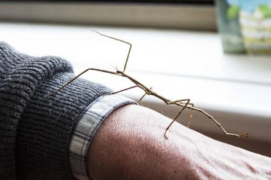 интересни факти за насекомите пръчици