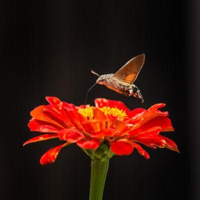 насекомо гълъбова опашка