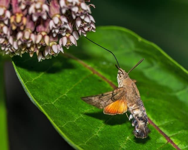 гълъбова опашка насекомото приличащо на колибри