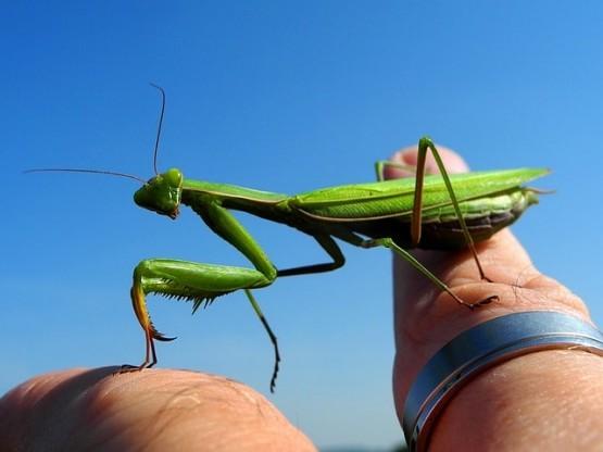 богомолка домашен любимец насекомо