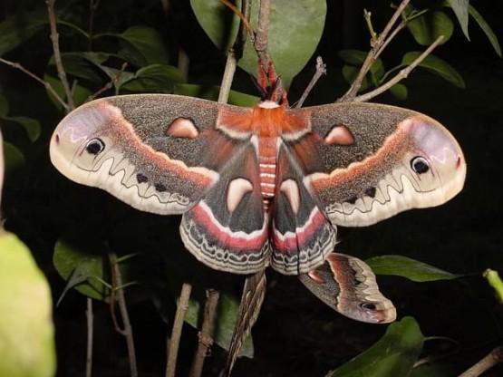 молец Hyalophora cecropia