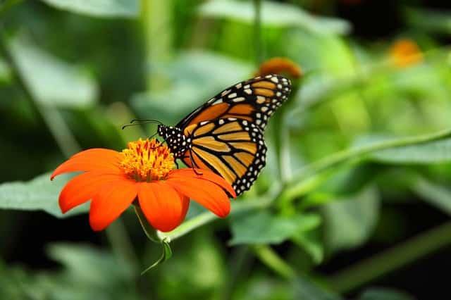пеперуда монарх