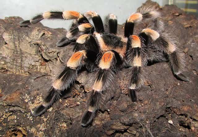 тарантула домашен любимец
