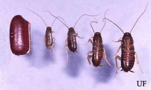 Американската хлебарка